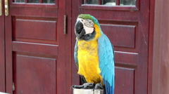 Blue-and-yellow macaw Stock Footage