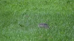 Flicker Bird On Grass - 02 Stock Footage