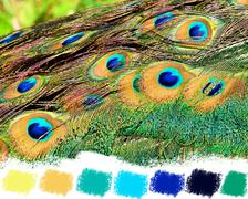 peacock tail feathers color palette - stock illustration