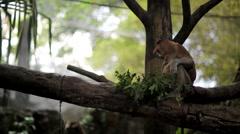 Proboscis monkey Stock Footage