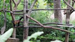 Tufted capuchin monkey Stock Footage
