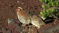 Chukar hen with young chicken closeup Stock Footage