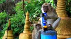 Monkey trying to eat stolen suncream. Krabi, Thailand. - stock footage