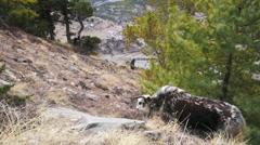 Wild yak pasturing on mountain environment. Stock Footage