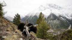 Wild yak pasturing on mountain environment. Stock Footage