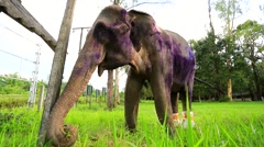Closeup view of ill elephant. - stock footage