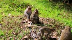 Monkey family near Angkor Wat temple, Cambodia. Stock Footage