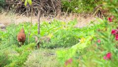 Chicken and rabbit eating in farm melon field Stock Footage