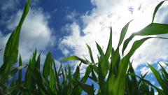 Green Corn Maize Plants in cultivated agricultural field Stock Footage