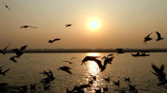 Gulls congregating on the Ganges River. - stock footage
