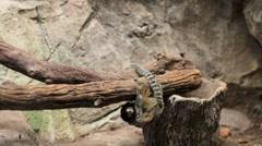 Tamarin monkey Stock Footage