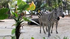 Zebra in Singapore Zoo. Stock Footage