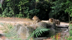 Lions relax on the grass Stock Footage