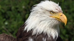 4k Bird of Prey - Bald Eagle close up turning head right to left Stock Footage