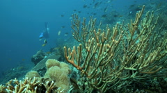 Rusty gorgonian coral moving in current underwater Stock Footage