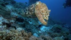 Broadclub cuttlefish in Komodo National Park, Indonesia Stock Footage