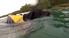 Dog swims with life jacket Stock Footage