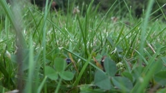 Close up on Ladybug or Ladybird red bug insect slowly scrambling in green grass Stock Footage