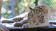 White tiger at Tiger Kingdom Stock Footage