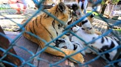 Tiger cubs playing. Stock Footage