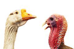 goose and wild turkey portraits on white - stock photo