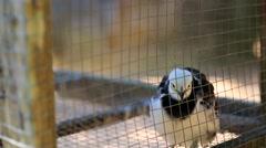 Stock Video Footage of The Pied Myna bird