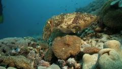 Broadclub cuttlefish hovering over coral reef Stock Footage