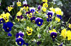Stock Photo of Blue and yellow pansies