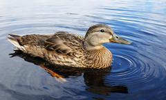 Mallard duck on a lake Stock Photos