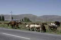 Stock Photo of Cows and horses on the road