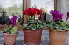 Red cyclamen in pots on the windowsill Stock Photos