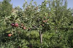 Stock Photo of Undersized apple tree