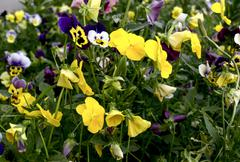 Bright totally yellow pansies - stock photo