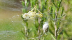 Exoskeleton remains of a grasshopper on a spider web Stock Footage