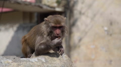 Monkey Eating on a Street in India Stock Footage