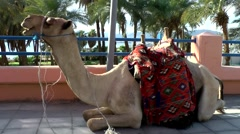 Western Asia Red Sea Jordan Aqaba 037 camel sits on a footpath and chews Stock Footage