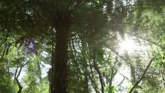 Stock Video Footage of Ponga Tree (Fern) in a New Zealand Forest, backlit with lens flare effect.