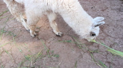 Alpaca eating hay Stock Footage