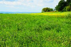 alfalfa field in bloom - stock photo