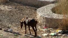 Western Asia Red Sea Jordan Aqaba 042 thin horse in a dirty yard Stock Footage