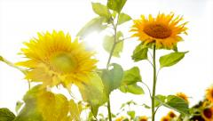 Slow motion - sun flowers - colorful flower background - nature plants Stock Footage