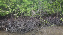 Monkey grab food on the mangrove trees Stock Footage