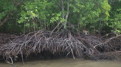 Monkeys running roots of mangrove trees Stock Footage