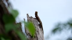 Red Lizard on a green background - stock footage