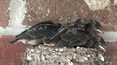 Birds Barn Swallow babies in crowded nest HD Stock Footage