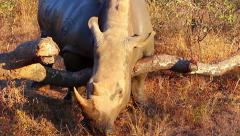 Rhino scratching itself on a log Stock Footage