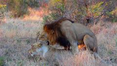 Male and female lions mating Stock Footage