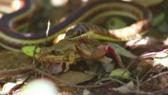 Sand snake eating a frog Stock Footage