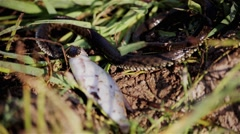 River snake caught and eats fish Stock Footage