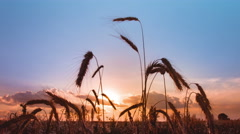 4K resolution, the cereals (wheat) close-up view and sunset (sunrise) background Stock Footage